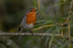 Sing. (stonefaction) Tags: park nature robin birds scotland riverside dundee wildlife
