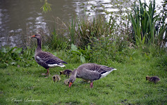 CHARTWELL park , gooses family (claude.lacourarie) Tags: park uk england castles kent spring unitedkingdom britain eu goose churchill winstonchurchill manor nationaltrust printemps palaces chartwell manoir cottages statelyhomes manorhouses