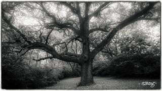 Old Oak_mono#2