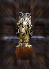 DSC_0509EditZOOMFAA (john.cote58) Tags: door moon holiday bird halloween festive children pumpkin scary eyes october mood candy zoom witch trickortreat floating doorway owl novel greathorned allhallowseve creativeedit