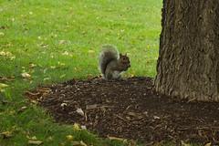 Ardilla Comiendo (Garimba Rekords) Tags: parque chicago animal illinois ardilla comiendo eeuu