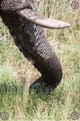 NAMIBIA 2015 @ 01 - 19610 (hanktattoo) Tags: africa park wild moon elephant nature animal animals rock landscape bush sand paint desert leo harbour african wildlife lion mother sandwich national valley tropic dust namibia etosha solitaire capricorn engravings sossusvlei panthera 2015 elefanti albedo damaraland allaperto twfelfontein eleante