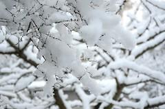 Esimene lumi (anuwintschalek) Tags: november schnee autumn white snow home garden austria herbst lumi weiss garten niederösterreich cherrytree kodu sula aed sügis kirschbaum 2015 wienerneustadt valge kirsipuu d7k nikond7000 18140vr