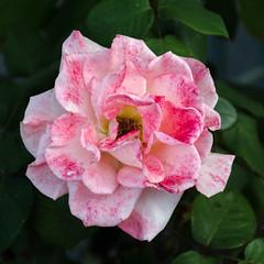 Rose ancienne panachée.jpg (BoCat31) Tags: rose roseancienne bicolore