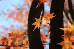 Maple leaves (HDH.Lucas) Tags: autumn leaves maple lucas cannon