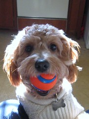 can-we-play-ballplease--this-is-phoebe--shes-one-of-morgan-and-chewys-mini-goldendoodle-girls-_3080037324_o