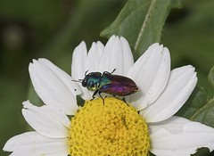 Jewel Beetle----Anthaxia suzannae (creaturesnapper) Tags: europe greece beetles lesbos coleoptera buprestidae jewelbeetles anthaxiasuzannae