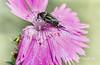 mordella sp. (Josep M.Toset) Tags: macro nikon catalunya animalia arthropoda insectes plantes d800 flors coleoptera clavellina sigma150 mordellidae josepmtoset