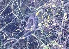 Long-eared Owl (Asio otus) record shot (grubby1949) Tags: uk nikon long sigma owl dungeness longearedowl eared longeared asio otus rspb