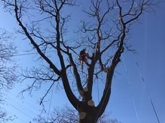 161201 파크가죽나무 작업 (PLAYSEESAW) Tags: arborist pruning korea innovationpark treeclimbing 트리클라이밍 서울혁신파크 아보리스트 가지치기