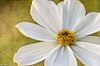 Cosmos (Ken Mickel) Tags: cosmos floral flower flowers plants texture textured textures blossom blossoms closeup flora garden gardens nature photography upclose