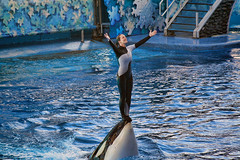 Never Stand on an Orca's Nose (Brian 104) Tags: seaworld florida orca whale performance trainer water entertainment captive ilobsterit