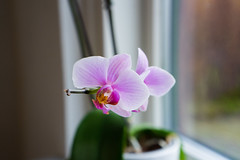 Orchid (Aliuros) Tags: flower orchid plant nature plante blomst orkide