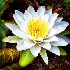 Lily. #Florida #family #holiday #iPhone #iPhonemacro #macro ##flower #flowersofinstagram (Kindle Girl) Tags: holiday macro flowersofinstagram florida family iphone iphonemacro flower