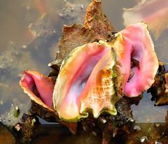 Gwada : lambis (in explore) (chriskatsie) Tags: seashell coquillage lambis mer