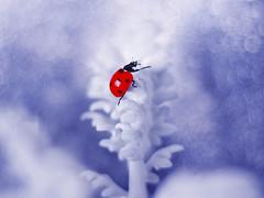 Jacobaea maritima (ElenAndreeva) Tags: winter color blue contrast sun light beautiful creative cute snow colors insect canon garden top dream colorful composition tones sweet focus best amazing nature bokeh macro flower christmas bug ledybug