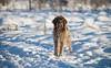 _DSC5126 (sochacki.info) Tags: szyszka griffon wirehaired pointing wpg gundog winter snow hunting dog poland sanok forest walk outside freezing