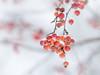 Winter berries (A_Peach) Tags: 2017 park samyang samyang85mmf14 winter nature plant dof bokeh closeup mft m43 lumix panasonic microfourthird micro43 apeach anjapietsch manualfocus berries beeren panasoniclumixgx8
