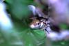 Lucertola in giardino (Antimateria1926) Tags: lacerta anfibio rettile macro macrofotografia ingrandimento sfocata