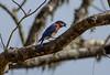 Bluebird Berry (Gabriel FW Koch) Tags: bluebird berry beak wild wildlife songbird nature moss tree outside telephoto canon depthoffield wow