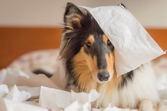 01/12 Nora, little crazy (shila009) Tags: nora roughcollie tricolor dog perro cute nice paper bed light natural portrait nikkor indoor