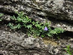 Harebell and Cliff Brake (Aeranthes) Tags: rushfordsandbarrens rushford sna pellaea pellaeaglabella campanularotundifolia harebell campanula
