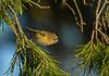 Goldcrest (collydog2) Tags: goldcrest fir trees billinge