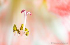 Amaryllis #2 (Natur.Licht.Farben.) Tags: bunt colored color mulitcolore naturlichtfarben policromo farbig flor abigarrado natur licht farbenfroh floral amaryllis colorful fleur schwerin floridezza flower blüten farben bloom staubblätter blossom blüte blumen