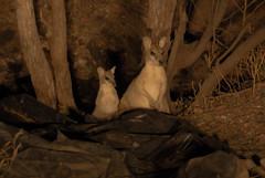 Kangaroos II (Josué Godoy) Tags: kangaroo canguro australia animal wildlife mother son family familia famille