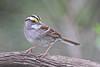 White-throated Sparrow (Alan Gutsell) Tags: whitethroated sparrow whitethroatedsparrow migration seed grass georgebushpark texasbirds texas houston emberizine songbird