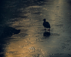 All Alone (MrBlueSky*) Tags: duck bird waterfoul animal ice frozen wildlife nature kewgardens kingdomanimalia london outdoor ngc aficionados pentax pentaxart pentaxk1 pentaxlife pentaxawards