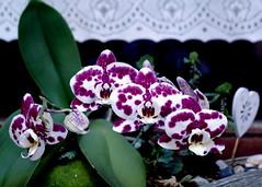 Orchidee.....fühlt sich im Bad am wohlsten.....At the window in the bathroom. (dl1ydn) Tags: flowers orchidee dl1ydn tessar 35105mm