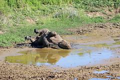2016 South Africa (Ian Macfadyen) Tags: wallowing mudbath southafrica easterncape kareigagamereserve rhino blackrhino rhinocerus horn