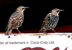 """""""Sign of Good Taste"""" (Starkrusher) Tags: cocacola newfoundland europeanstarling starlings cokeslogan"""