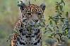 Jaguar 'Rica' - Artis (Mandenno photography) Tags: artis animal animals amsterdam nederland netherlands the jaguar bigcat big cat zoo