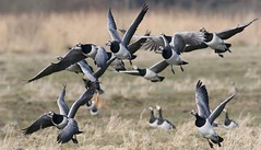Barnacle Geese Barrage (Ger Bosma) Tags: 2mg163727zz brandgans brantaleucopsis barnaclegoose weiswangengans bernachenonnette barnaclacariblanca ocafacciabianca goose geese flight takingoff takeoff