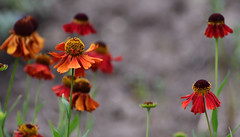 The Best... (Steven H Scott) Tags: flowers red orange green bokeh summer outdoor plant nature organic pattern