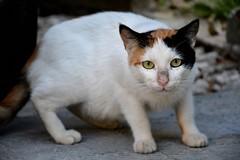Street cat (elka.) Tags: chat cat cats katze kot katte gata gatta katt animal kotka kat neko nikon outdoor street kucing nature kedi greece gatto gato gatz koćka kissa γάτα кошка кошки feline котка