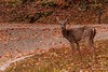 Whatcha Lookin' At (Back Road Photography (Kevin W. Jerrell)) Tags: deer animals cumberlandgapnationalhistoricalpark kentucky nikond60 autumn fall wildlife