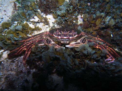Red Rock Crab -Guinusia chabrus