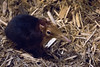 brookfield zoo. march 2017 (timp37) Tags: brookfield zoo illinois march 2017 giant elephant shrew