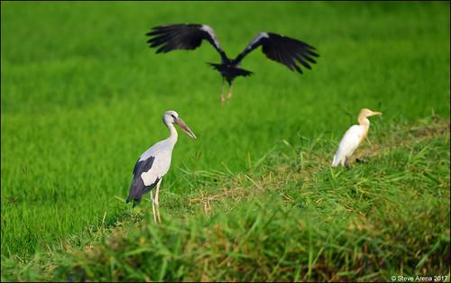 Asain Openbill (Anastomus oscitans) - Cattle Egret (Eastern) (B. i. coromandus) on the right