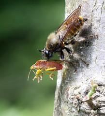 Laphria flava (7) (saracenovero) Tags: laphriaflava asilidae diptera flies fliesoflithuania 2016