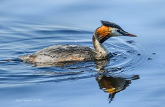 Great Crested Grebe. (nondesigner59) Tags: podicepscristatus greatcrestedgrebe bird wildlife swimming fishing water archives nature copyrightmmee eos7dmkii nondesigner nd59 birdwatcher