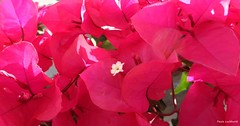 Flames (Paula Luckhurst) Tags: bougainvilleas pinkbougainvillea pinkflowers flowers plants pink nature outdoor