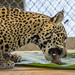 Jaguar Gamboa Wildlife Rescue pandemonio 2017 - 06