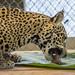 Jaguar Gamboa Wildlife Rescue pandemonio 2017 - 06