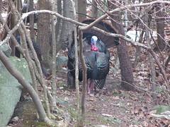 2017_0307Wild-Turkey0002 (maineman152 (Lou)) Tags: westpond turkey turkeys wildturkey wildturkeys tom tomturkey nature naturephoto naturephotography march maine
