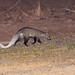 White-tailed Mongoose (Ichneumia albicauda), male