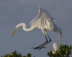 Great Egret ( Ardea alba) (Lip Kee) Tags: greategret greatwhiteegret ardeaalba ardeaalbaegretta